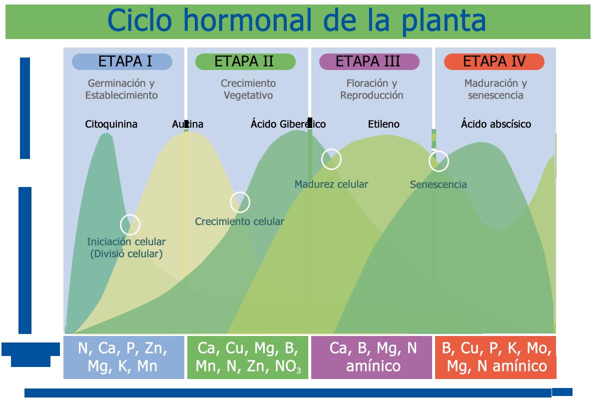 Fisiologia_vegetal_Diagrama_hormonal_de_una_planta