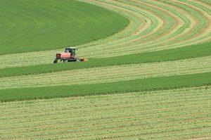 cosechando alfalfa P