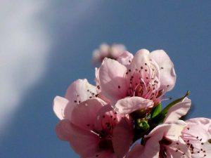 flor ciruelo cerca P