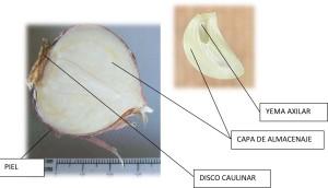 partes de un bulbo vegetal