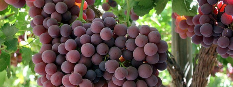 Manejo de color en uva de mesa fisiologia vegetal - Variedades de uva de mesa ...