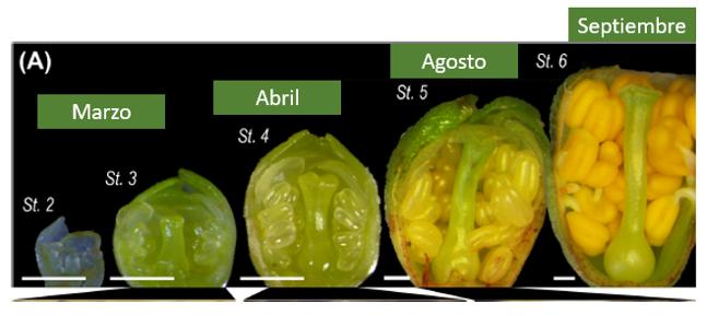 Evolución de yema floral de Cerezo.