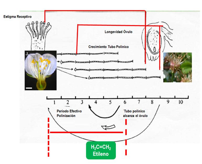 Resumen proceso de floración